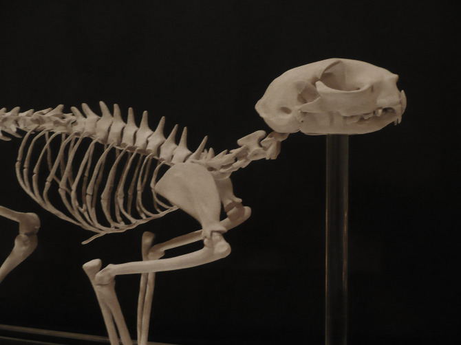 Cat Skeleton Ashleigh Chaney 3d